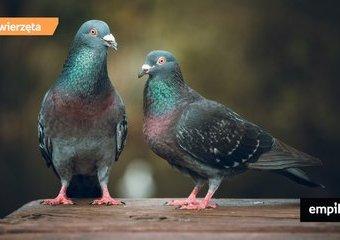 12 ciekawostek, których nie wiesz o gołębiach