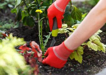 Chwasty: jak usuwać chwasty w ogrodzie? Polecane wyrywacze i metody