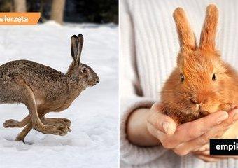 Czy odróżnisz zająca od królika?
