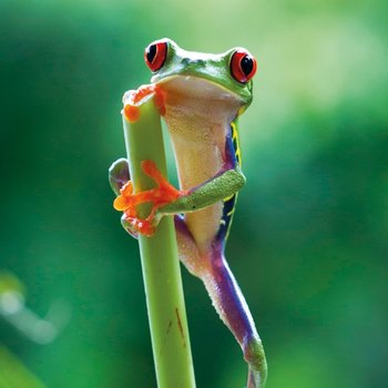 Karnet okolicznościowy, Red Eyed Frog