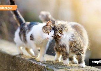 Marcowanie u kotów, czyli czemu marzec to koci miesiąc zakochanych?