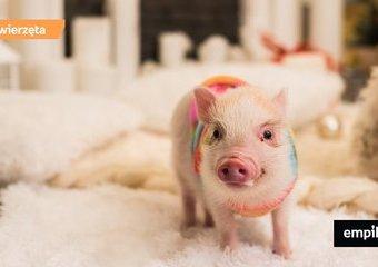 Miniaturowa świnka – co warto o niej wiedzieć?