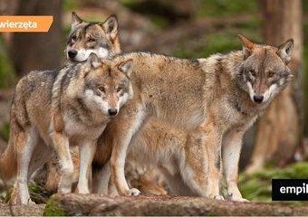 Wilki w Polsce - co warto o nich wiedzieć?
